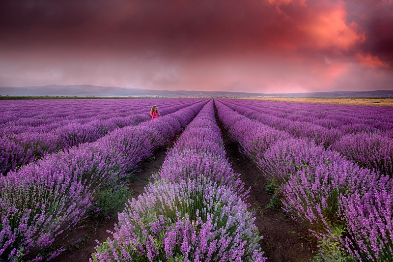 lavender, field, summer, purple, sunset lavender fieldphoto preview