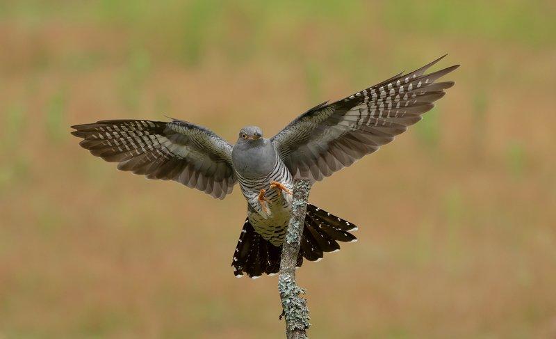 cuckoo, birds, nature, wildlife, woods Cuckoophoto preview