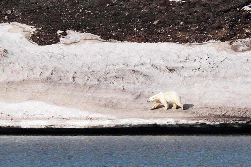 арктика, север, шпицберген, белый медведь, фауна, дикие животные, arctic, north, svalbard, polar bear, fauna, wildlife Король Севераphoto preview