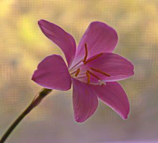 Домашний цветок.(2)