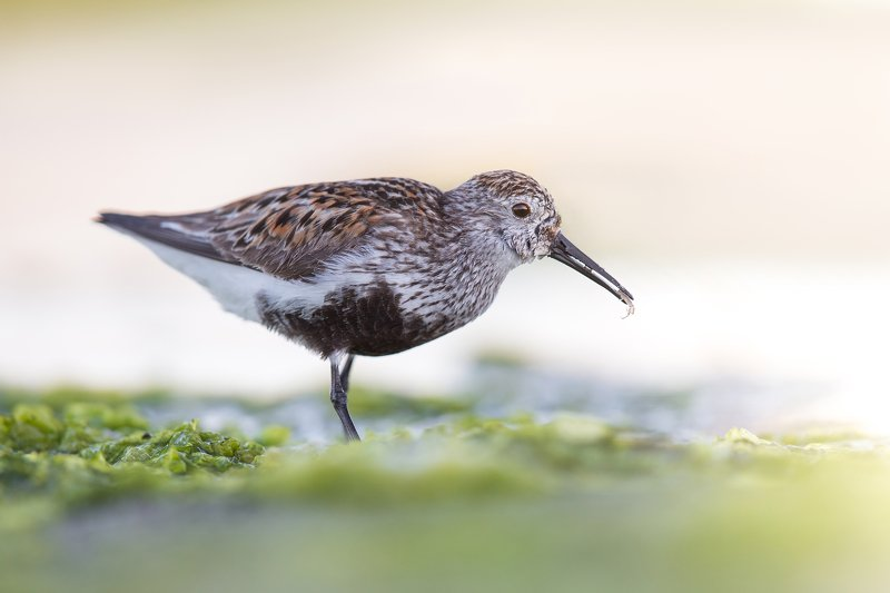 Dunlin photo preview