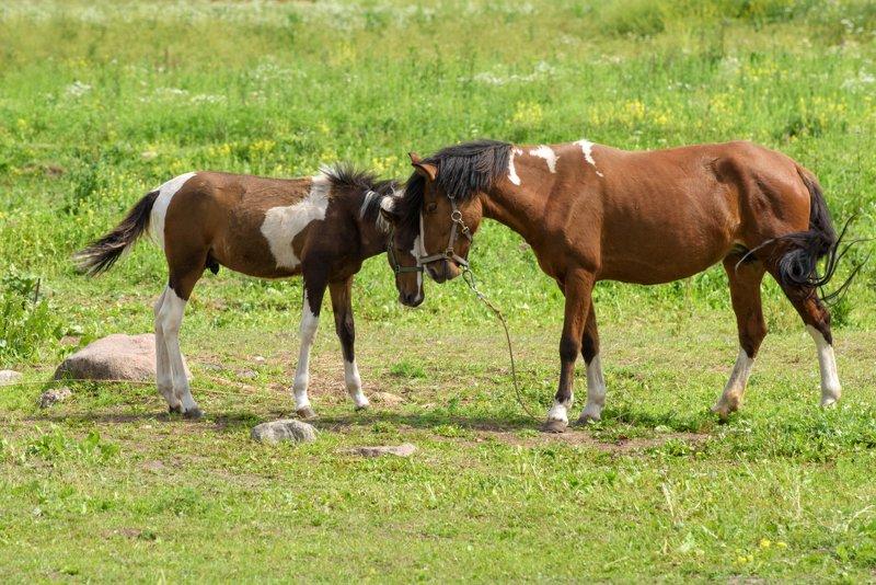 животные, лошади, кони, жеребёнок, лето Безусловная любовьphoto preview