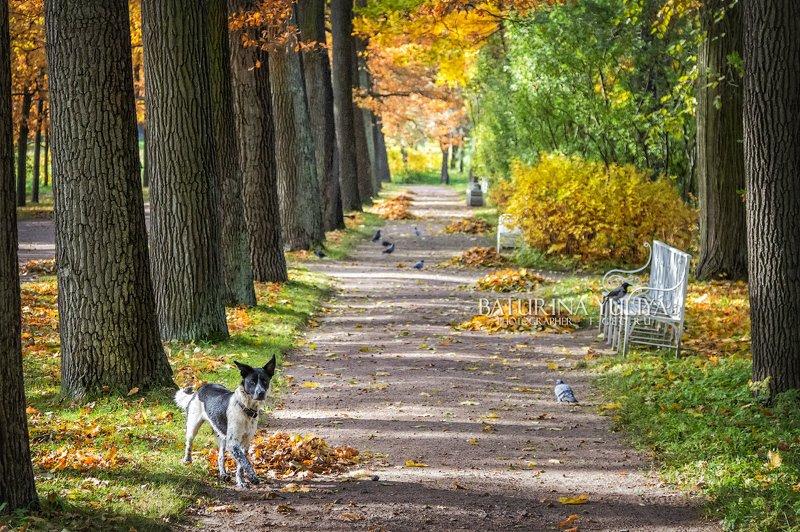 царское село, аллея, осень, собака Собака и аллеяphoto preview