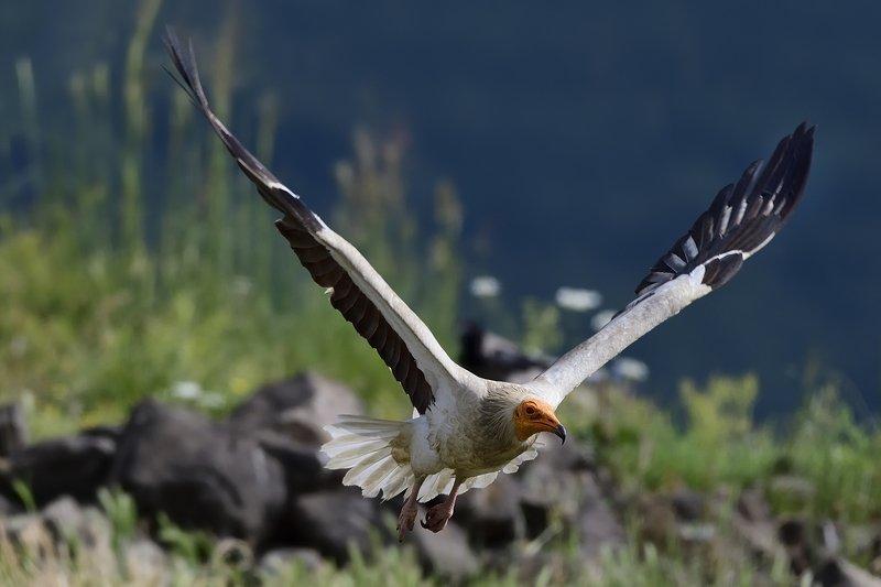 птицы birds Neophron percnopterusphoto preview