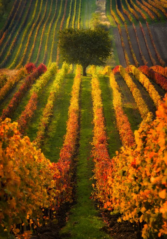 Виноград фото превью