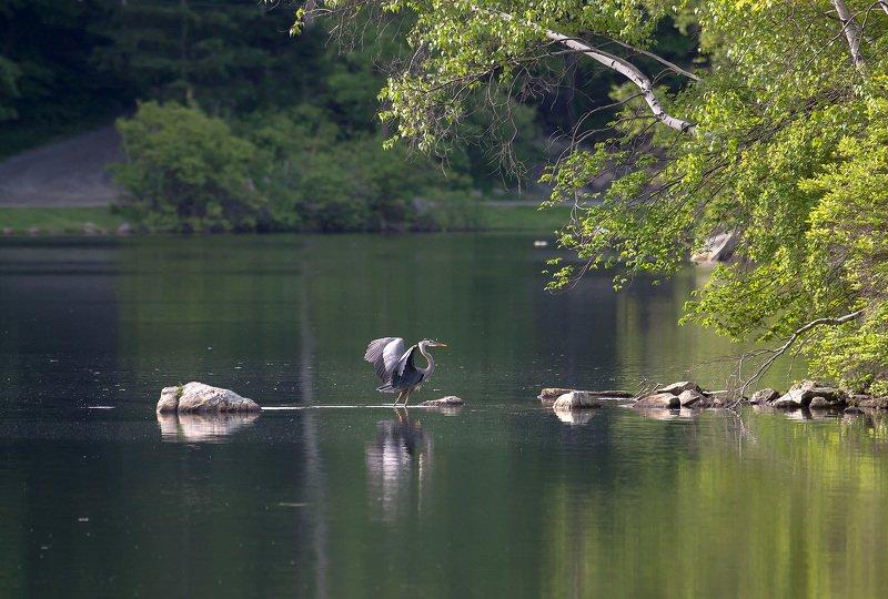животные,птицы,цапли,природа,лето,озеро,цапля,отражения,вода,деревья,фотоохота, Несколько па одинокой цапли...photo preview