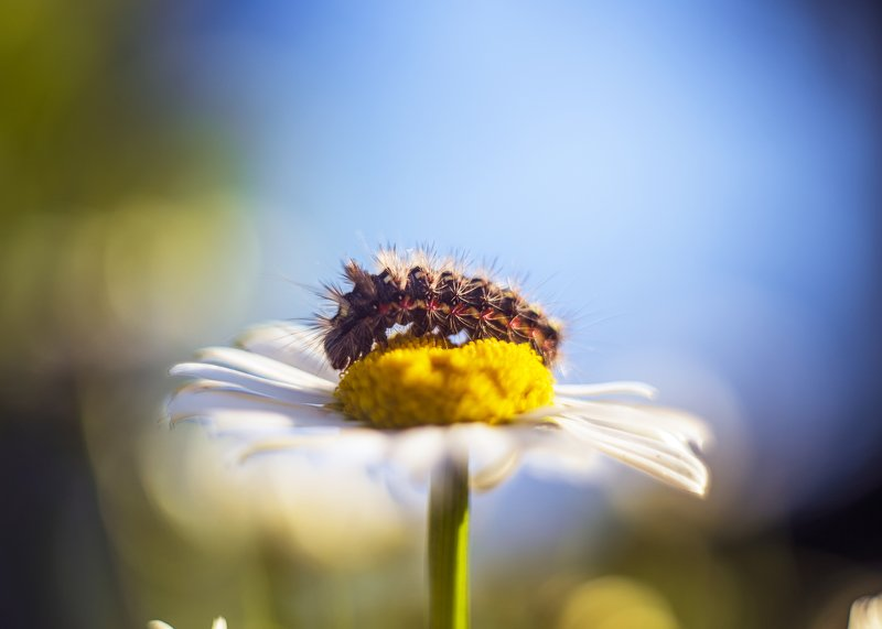 макро гусеница ромашка цветы насекомые гелиос44 Путешествие по ромашкеphoto preview
