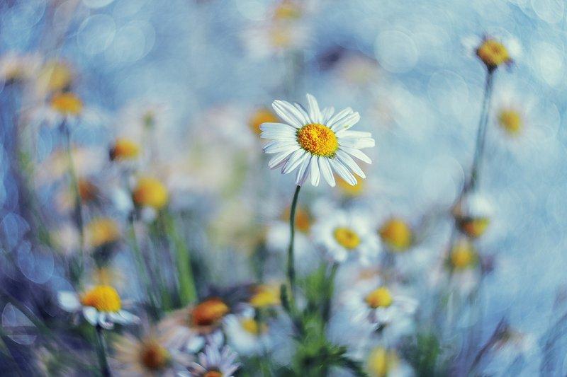 moment, момент, beautiful, красивый, helios-44m, manual lens, мануальная оптика, bokeh, боке,  tenderness, нежность, flower, цветок, wild, полевой, white, белый, chamomile, ромашка, Летние мечты о прохладе…photo preview