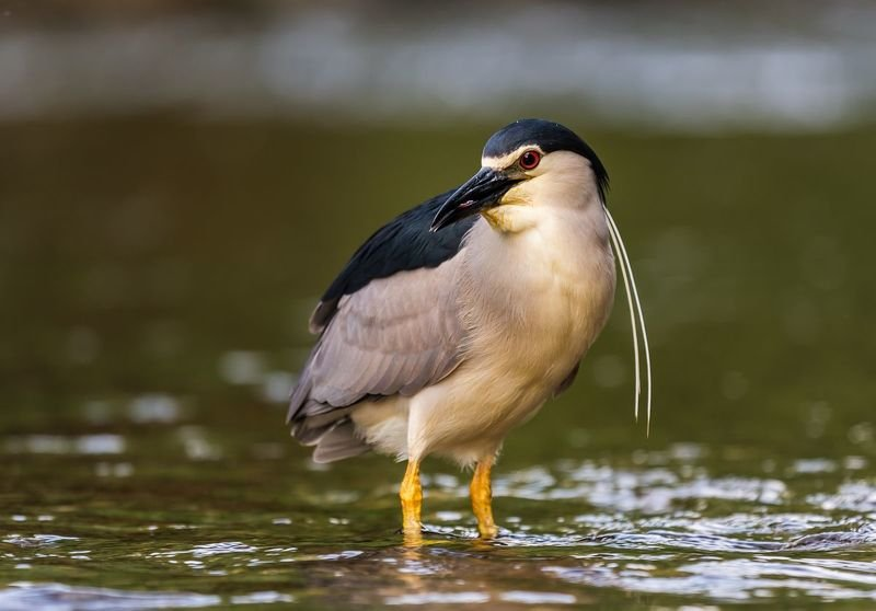 Ślepowron   _   Nycticorax nycticoraxphoto preview