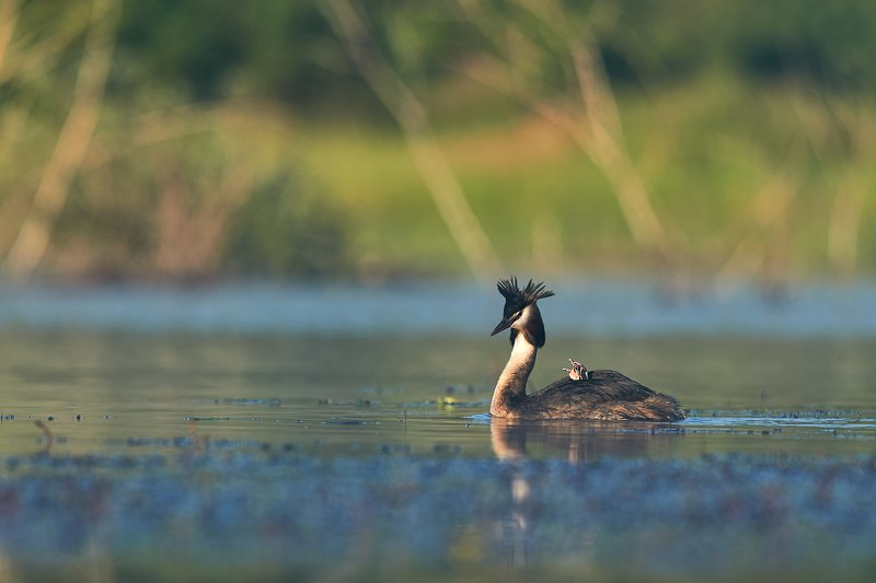 Great crested grebephoto preview