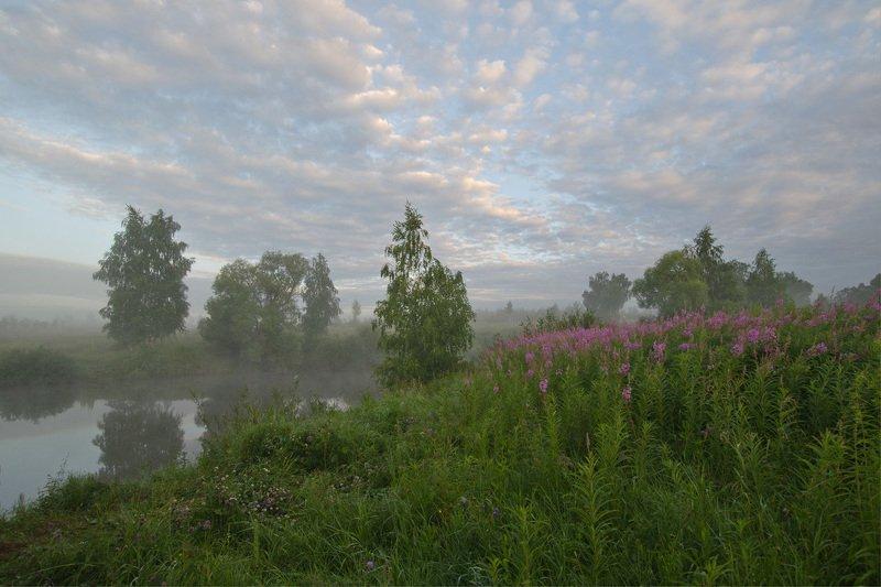 утро, лето, природа, пейзаж Цветёт кипрейphoto preview