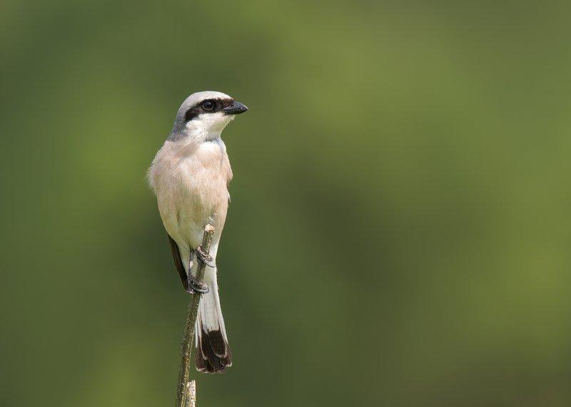 птицы,природа,лето Жуланphoto preview