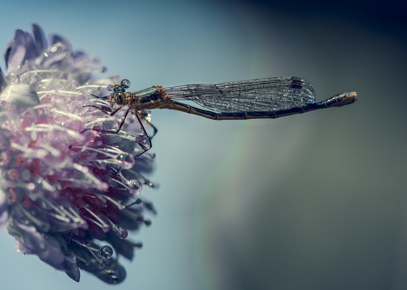 макро стрекоза капли цветок насекомые Модницаphoto preview