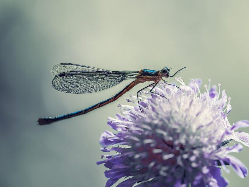 макро стрекоза  цветок насекомые Вам туда!photo preview
