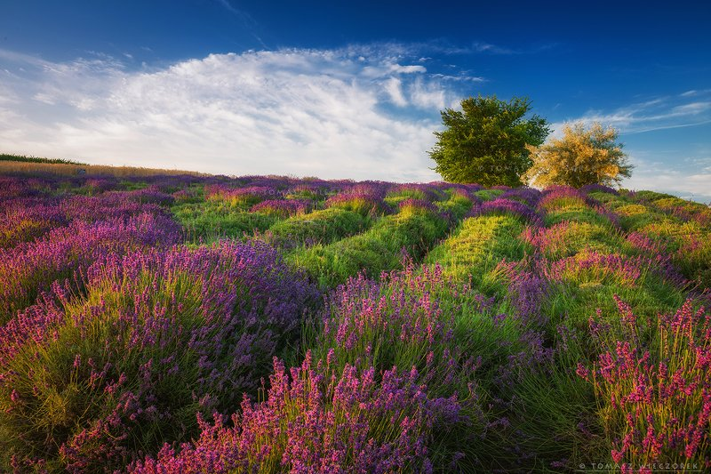 poland, polish, landscape, sunrise, sunset, mood, beautiful, amazing, awesome, adventure, explore, travel, light, lavender, fields Morning in lavenderphoto preview