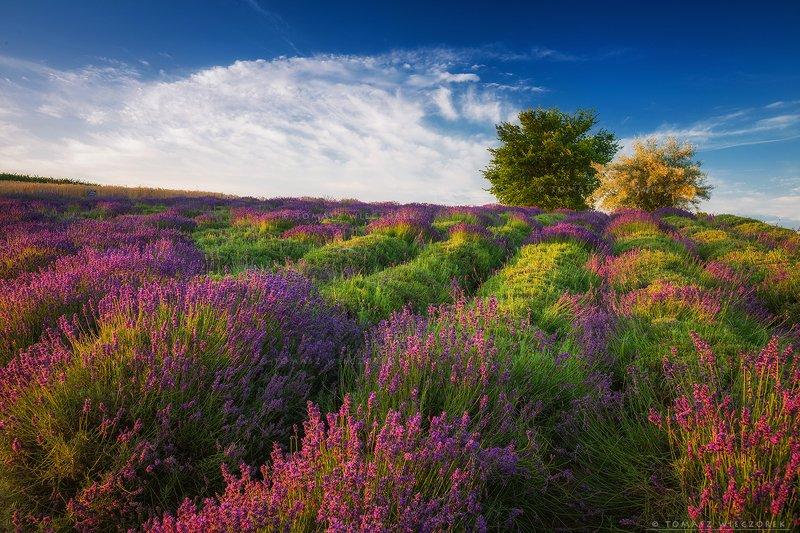 poland, polish, landscape, sunrise, sunset, mood, beautiful, amazing, awesome, adventure, explore, travel, light, lavender, fields Morning in lavender фото превью