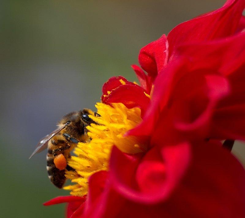 Пчела, цветок, лето, Алтай \
