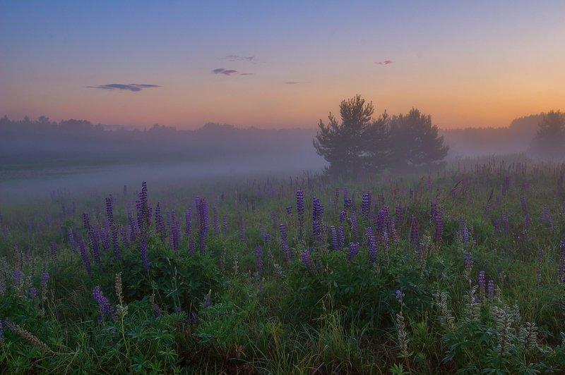 туман лето люпины сумерки лес в тумане закатном... )photo preview