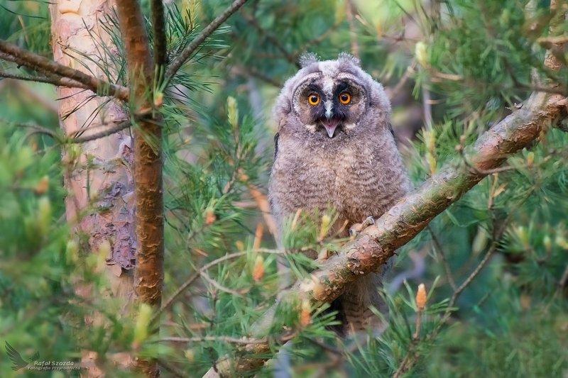 owl, birds, nature, animals, wildlife, colors, tree, forest, spring, freedom, nikon, nikkor, lens, lubuskie, poland Jeeeeść !!! ... Uszatka, Long-eared Owl (Asio otus) ... 2019rphoto preview