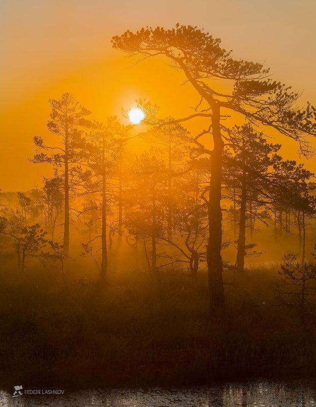 ленинградская область, деревья, сосна, болото, лето, рассвет, туман, оранжевый, дерево, солнце, Из серии «Оранжевый мир»photo preview