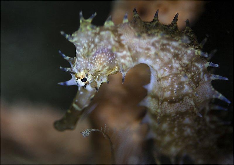 филиппины, морской конек, весна, макро весенний мотивphoto preview