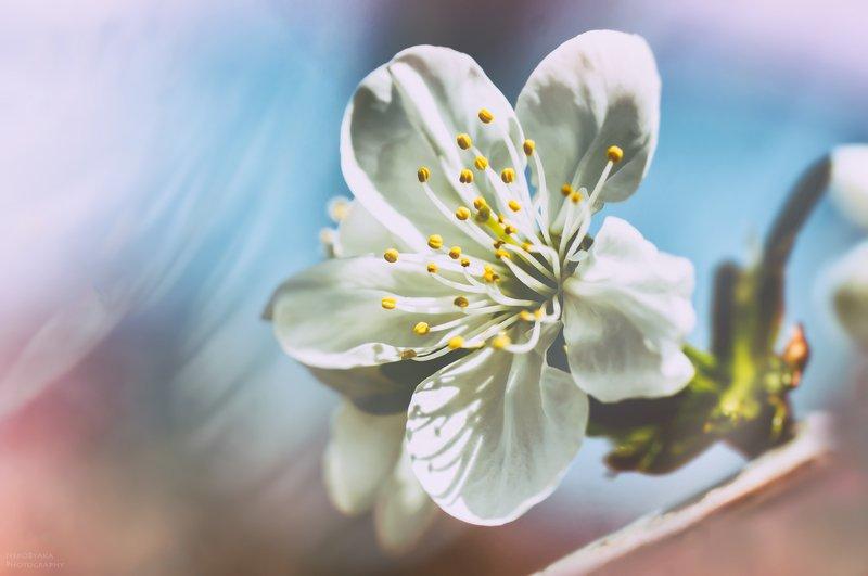 макро, природа, весна, цветы, вишня, клубника, боке, macro, nature, spring, flowers, cherry, strawberry, bokeh, ***photo preview