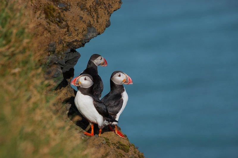 исландия, тупик, iceland, puffins Тупикиphoto preview