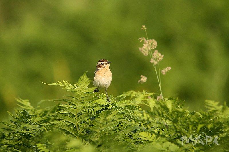 животные птицы лето чекан Маленький отважный Чеканphoto preview