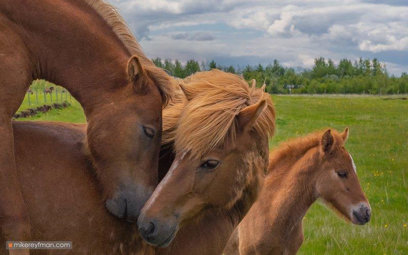 iceland, horses Нежностьphoto preview