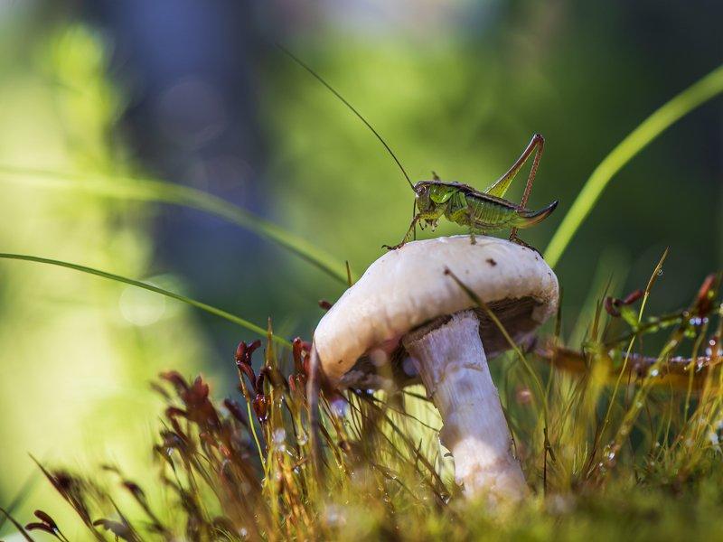 кузнечик макро природа грибы В траве сидел кузнечик...photo preview