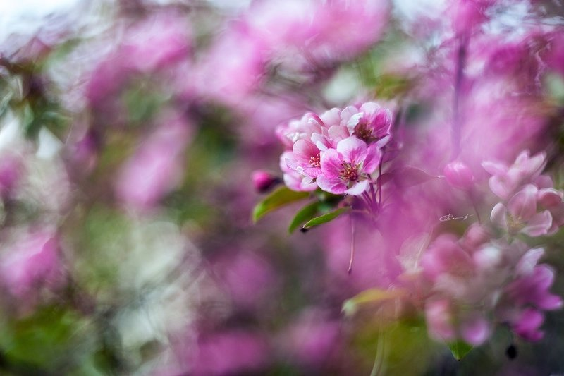 гелиос боке цветение весна яблоня розовый Магия розовогоphoto preview
