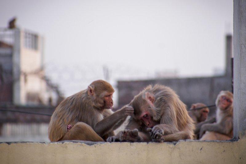 Monkey, monkies,animals, Dhiraj Goswami,life   Monk\'s lifephoto preview