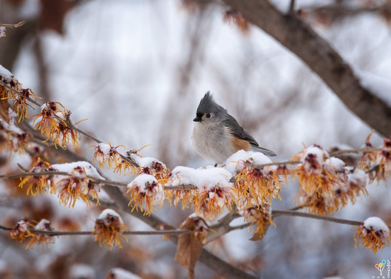 Tufted titmouse in snowphoto preview