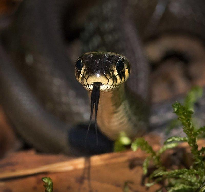 уж змея пресмыкающиеся natrix natrix Ужphoto preview