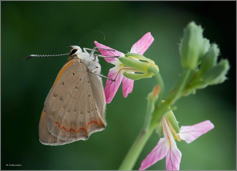 лепесток,хоботок,бабочка,червонец,phlaeas Вкус лепесткаphoto preview