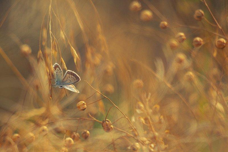 лето, макро, бабочка, сухоцвет, голубянка Про бабочкуphoto preview