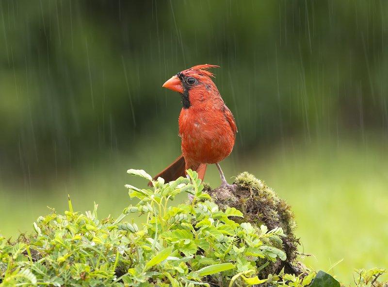 птицы, дождь, кардинал, сойка, дятел, пересмешник Птицы в дождь - Birds in the rainphoto preview