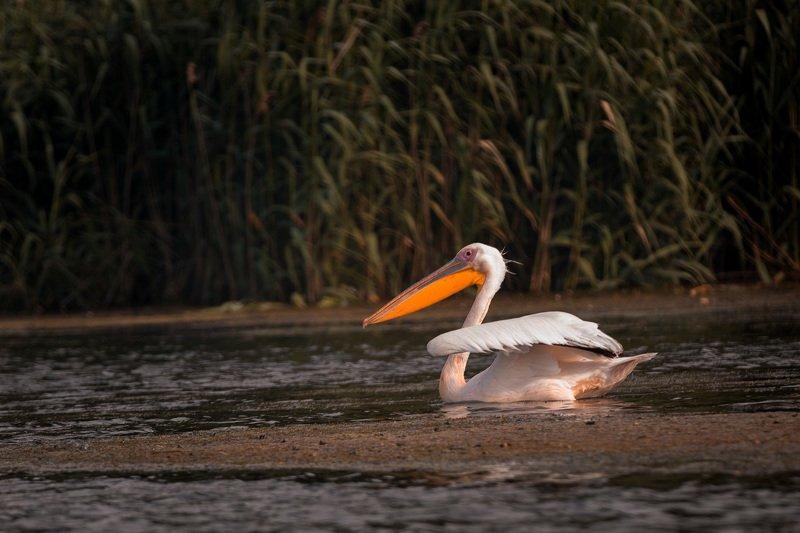 пеликан. полет пеликана. пеликан в полете Пеликан. Быстрый стартphoto preview