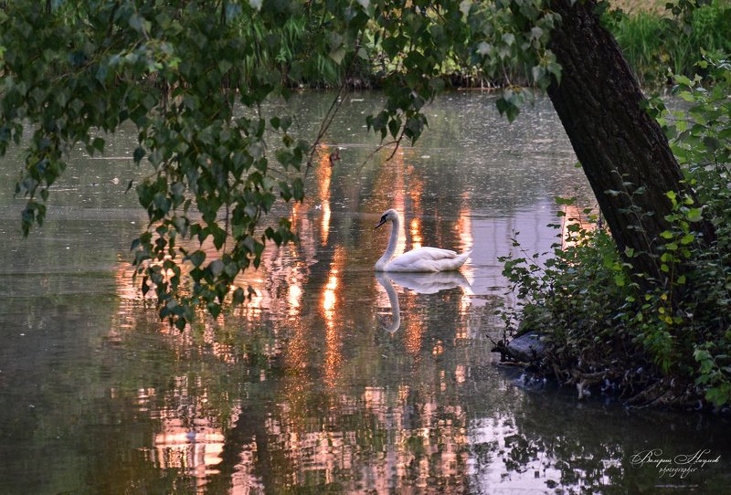 лето, июль, лебедь, вечер В вечернем светеphoto preview