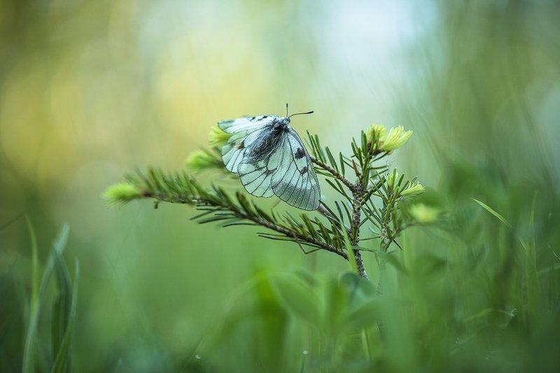 макро, бабочка, мнемозина, утро, свет, сон, родилась, красота, позитив, Там, где спят бабочки...photo preview