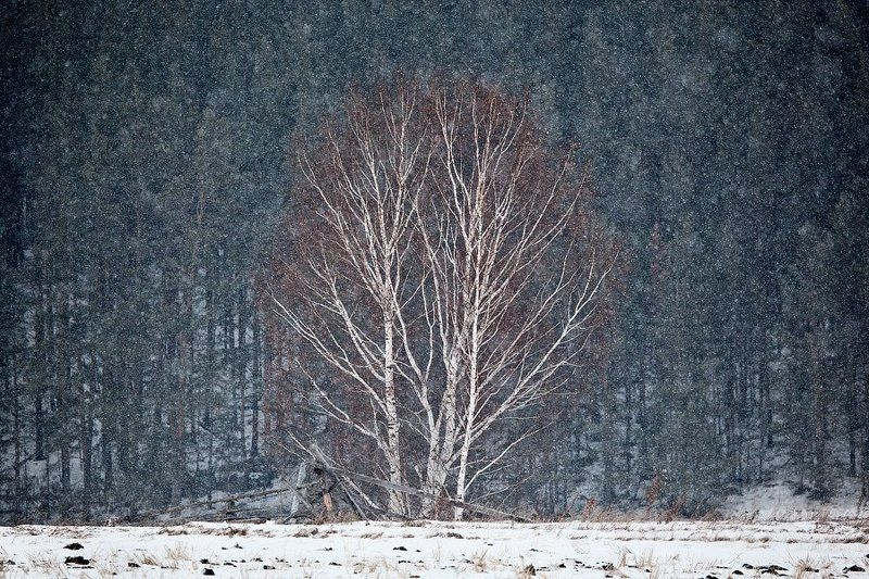 снег, метель, береза First snowphoto preview