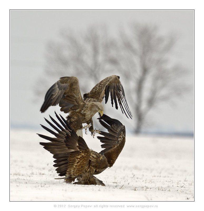 орлан-белохвост, фотографии дикой природы Битва титановphoto preview