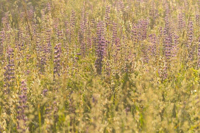 псков, солнце, цветы, люпины, утро, туман Солнечные люпиныphoto preview
