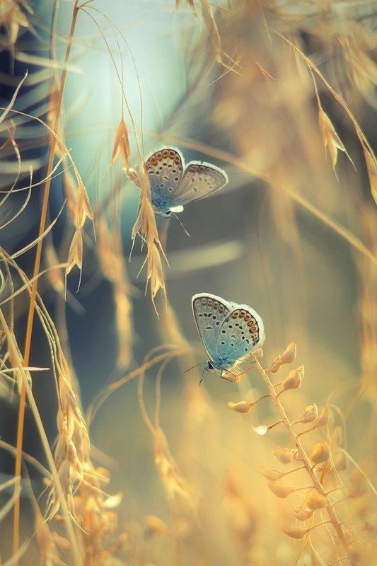 лето, макро, бабочки, сухоцвет, голубянки ***photo preview