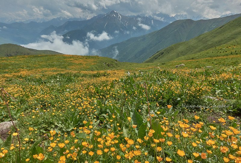 кавказ горы лютики В горахphoto preview