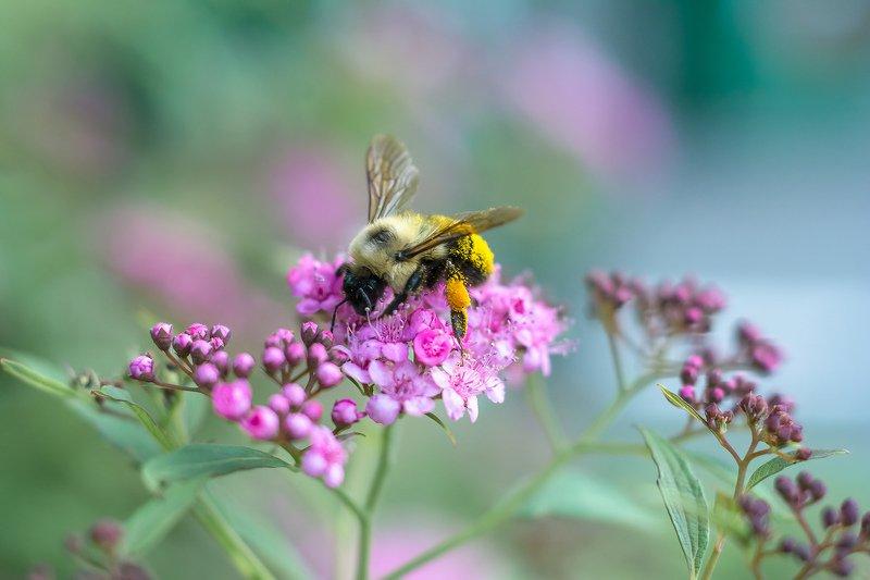 макро,насекомые,цветы,лето,природа,шмель,фотоохота,листья, И снова шмель на душистый хмель...photo preview
