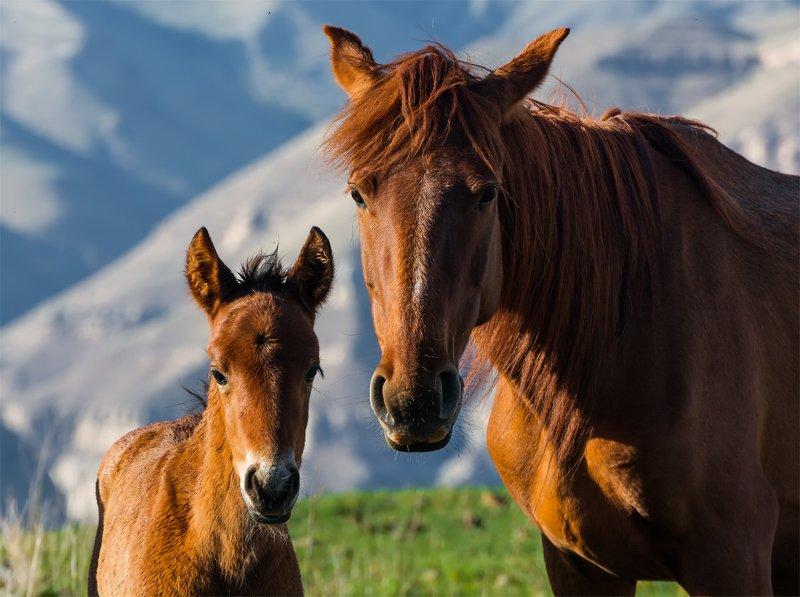 природа, горы, кавказ, природа россии, дикая природа, животные, лошади, весна, Я и Мамаphoto preview