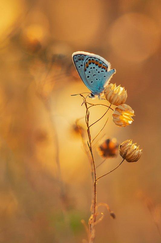 лето, макро, бабочка, голубянка, лён, коробоки Коробочкиphoto preview