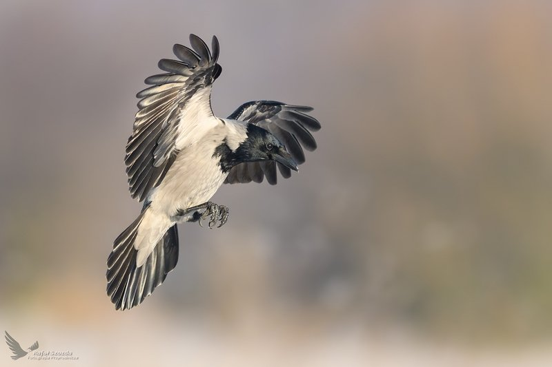 birds, nature, animals, wildlife, colors, meadow, spring, flight, landing, nikon, nikkor, lens, lubuskie, poland Wrona siwa, Hooded Crow (Corvus cornix) ...photo preview