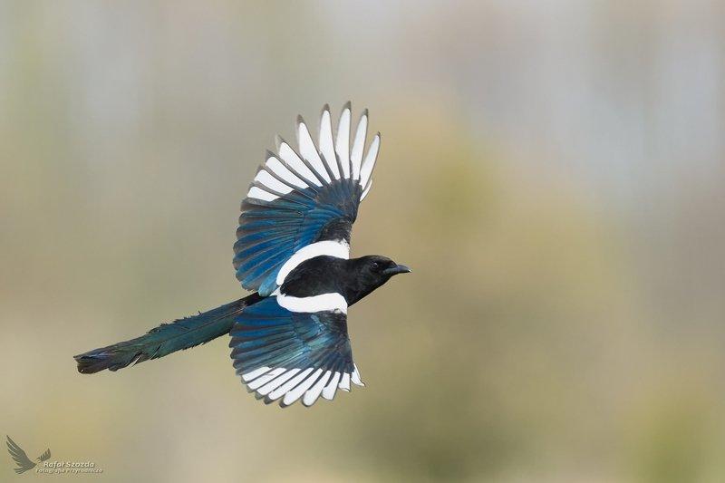 birds, nature, animals,wildlife, colors, meadow, spring, flight, freedom, green, sunlight, nikon, nikkor, lens, lubuskie, poland Sroka, Eurasian Magpie (Pica pica) ...photo preview